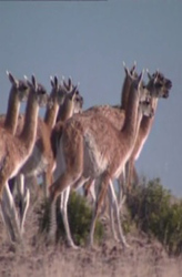 Guanacos: camels without humps